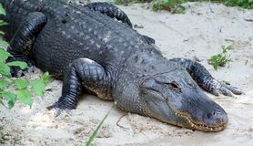 Alligator. In the Wild Royalty Free Stock Photo