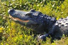 Alligator Stock Image