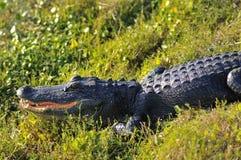 alligator Arkivbild