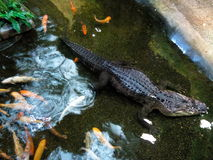 Alligator Photographie stock libre de droits