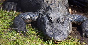Alligator aalt sich in der Sonne Lizenzfreies Stockbild