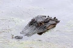 Alligator aan Oppervlakte 2 Stock Fotografie