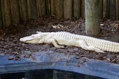Alligator albinos Photos stock