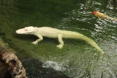 Alligator albinos dans un zoo, France photographie stock libre de droits