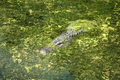 Alligator in algae verticle Stock Photo