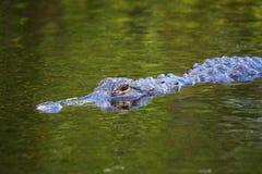 Alligator (Alligator mississippiensis) swimming Stock Photography