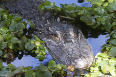 Alligator (Alligator Mississippiensis) Royalty Free Stock Photos