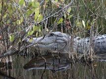 Alligator américain étroit dans le marais Photo libre de droits