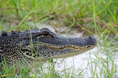 Alligator américain Image libre de droits