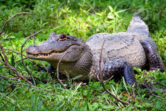 Alligator américain Images stock
