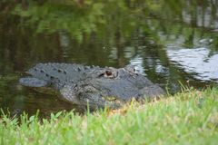 Alligator américain Photo stock
