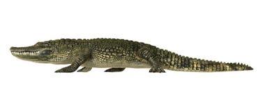 Alligator américain illustration de vecteur