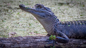 Alligator américain Image stock