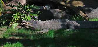 Alligator américain Photographie stock libre de droits