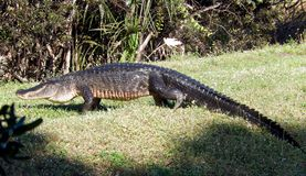 Alligator américain (alligator Mississippiensis) Image stock