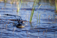 Alligator américain (alligator Mississippiensis) Images stock