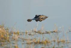 Alligator américain dans l'eau Images stock