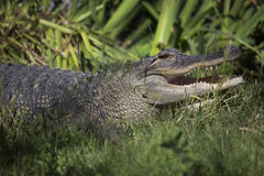 Alligator américain dans la clôture de zoo Image libre de droits