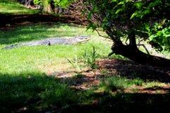 Alligator américain dans les marécages du sud de la Floride Image stock