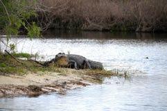 Alligator américain flânant Image libre de droits