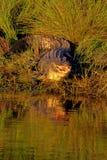 Alligator américain, mississippiensis d'alligator Photographie stock