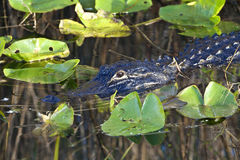 Alligator américain (mississippiensis d'alligator) Photo libre de droits