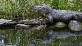 Alligator américain reflété dans l'eau foncée Images libres de droits