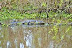 Alligator américain sur le tronçon d'arbre Photos stock