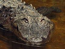 Alligator Royalty Free Stock Photography