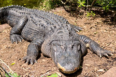 Alligator. American alligator laying on the shore Royalty Free Stock Photography