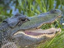 Alligator américain Images libres de droits