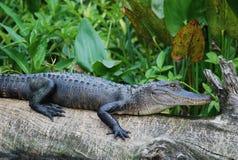 Alligator américain Photographie stock