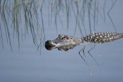 Alligator américain dans sauvage national d'île de Merritt Photos libres de droits