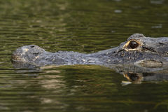 Alligator am?ricain (mississippiensis d'alligator) en Na de marais Images libres de droits