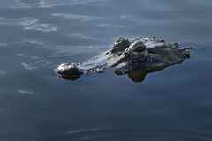 Alligator Approaching. Slowly through still pond Stock Image