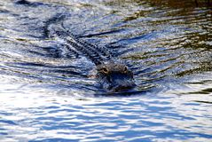 Alligator. Approaching Alligator swimming in dark water in Everglades National Park royalty free stock photo