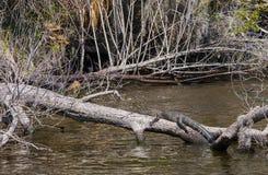 Alligator auf Anmeldung Florida-Sumpf Stockfotos