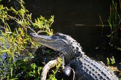 Alligator auf einem Klotz Lizenzfreies Stockfoto