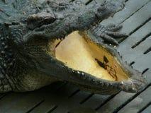 Alligator avec la bouche grande ouverte photo stock