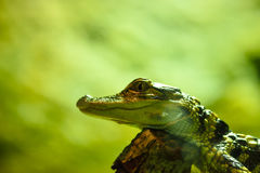 Alligator Baby. Picture of an alligator baby resting and heating up in the sun Stock Photos