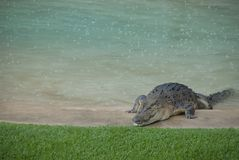 Alligator in backyard pool. Huge crocodile crawling over edge of outdoor swimming pool onto green gras. Dangerous natural introuder on private property Stock Images