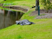 An alligator on the banks in South Carolina stock image
