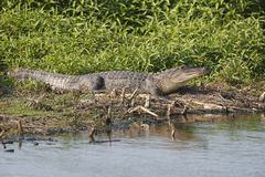 Alligator Basking at the Edge of a Pond Stock Images