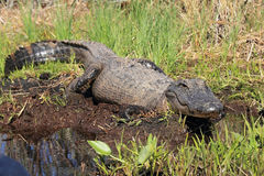 Alligator Basking on a River Bank Stock Photography