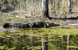 An Alligator Basking in the Sun Royalty Free Stock Photography