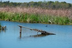 Alligator basking in the sun on the lake. Royalty Free Stock Photos