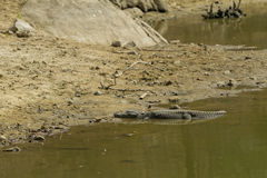 Alligator basking in the sun Stock Photography