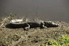 Alligator basking in the Sun Royalty Free Stock Photos