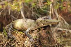 Alligator Basking on a Tree Stump Stock Photo