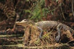 Alligator Basking on a Tree Stump. American Alligator (Alligator mississippiensis) basking on a tree stump on the Suwannee River - Okefenokee Swamp Wildlife Stock Photography